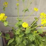 ハクサイの花