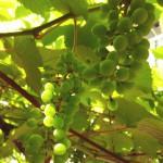 ブドウの実